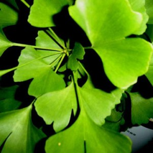 7 ginkgo-leaves
